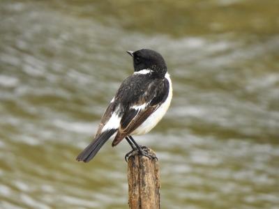 soku_35989.jpg :: 自然の鳥 野鳥 小鳥 ヒタキ