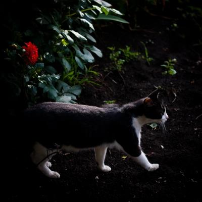 soku_35991.jpg :: 動物 哺乳類 猫 ネコ 植物 花 赤い花
