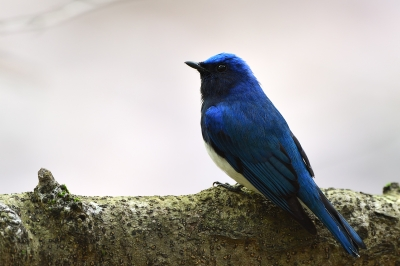 soku_35994.jpg :: 動物 鳥 野鳥 自然の鳥 オオルリ