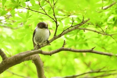 soku_35997.jpg :: 動物 鳥 野鳥 自然の鳥 エナガ 雛