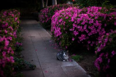 soku_35998.jpg :: ツツジ 動物 哺乳類 猫 ネコ 植物 花 ピンクの花