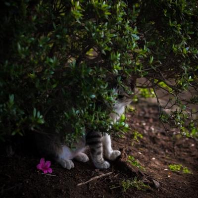 soku_35999.jpg :: 動物 哺乳類 猫 ネコ 植物 花 ピンクの花 ツツジ