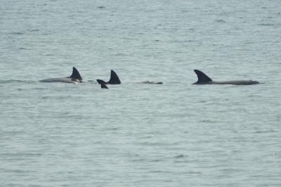 soku_36001.jpg :: 動物 海の生物 イルカ