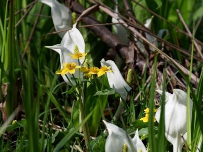 soku_36004.jpg :: リュウキンカ 植物 花 白い花