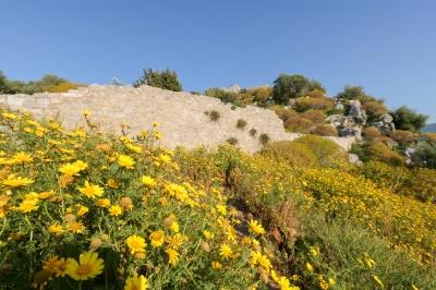 soku_36005.jpg :: 植物 花 黄色い花 たんぽぽ
