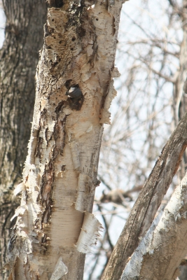 soku_36008.jpg :: 動物 鳥 野鳥 自然の鳥 ゴジュウカラ