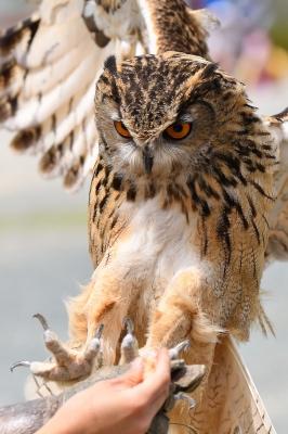 soku_36010.jpg :: 動物 鳥 掛川花鳥園 ベンガルワシミミズク