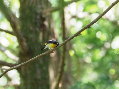 soku_36015.jpg :: 動物 鳥 野鳥 自然の鳥 キビタキ