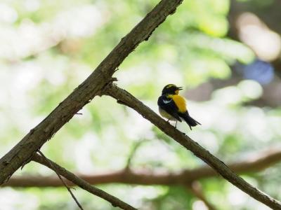 soku_36016.jpg :: 動物 鳥 野鳥 自然の鳥 キビタキ