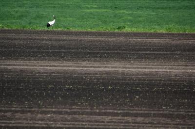 soku_36017.jpg :: 動物 鳥 野鳥 自然の鳥 タンチョウ