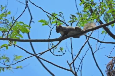 soku_36022.jpg :: 動物 哺乳類 栗鼠 リス