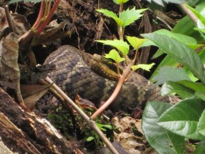 soku_36023.jpg :: マムシ 動物 爬虫類 両生類 ヘビ