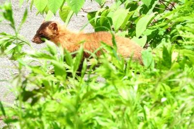 soku_36028.jpg :: イタチ 動物 野生動物