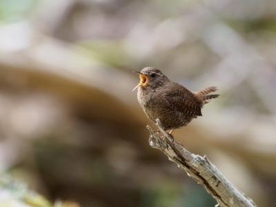 soku_36035.jpg :: 動物 鳥 野鳥 自然の鳥 コマドリ