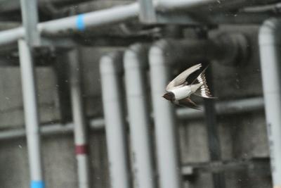 soku_36046.jpg :: 動物 鳥 燕 ツバメ