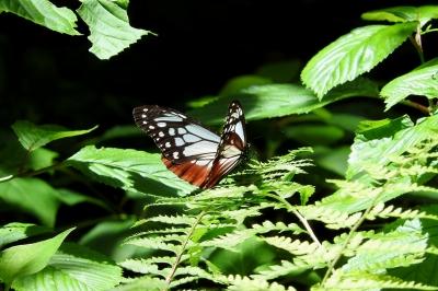 soku_36047.jpg :: アサギマダラ 動物 虫 昆虫 蝶 チョウ
