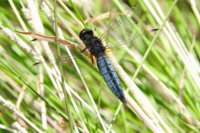 soku_36048.jpg :: ハラビロトンボ 動物 虫 昆虫 蜻蛉 トンボ