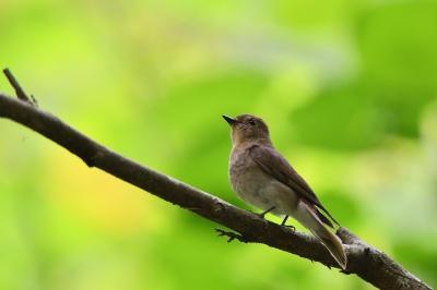 soku_36053.jpg :: 動物 鳥 野鳥 自然の鳥 オオルリ