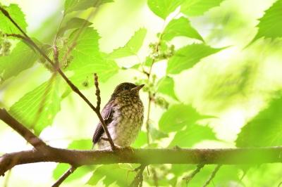 soku_36054.jpg :: 動物 鳥 野鳥 自然の鳥 オオルリ 巣立ち雛