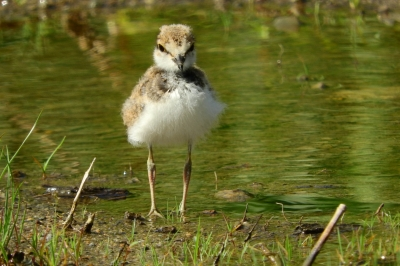 soku_36056.jpg :: コチドリ 動物 鳥 野鳥 自然の鳥 雛