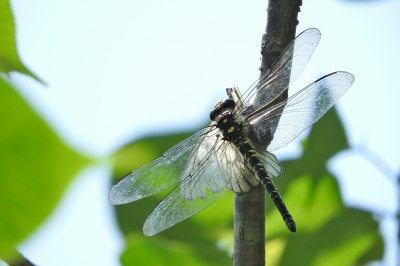 soku_36057.jpg :: ムカシヤンマ 動物 虫 昆虫 蜻蛉 トンボ ムカシヤンマ ウスバシロチョウ