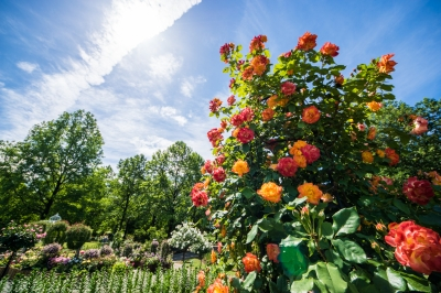 soku_36058.jpg :: 植物 花 オレンジ色の花 薔薇 バラ ハイキー