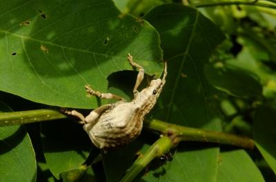 soku_36060.jpg :: 動物 昆虫 ゾウムシ科 シロコブゾウムシ