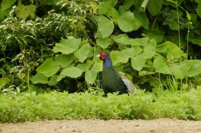 soku_36061.jpg :: 動物 野鳥 キジ科 キジ