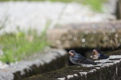 soku_36063.jpg :: 動物 鳥 燕 ツバメ
