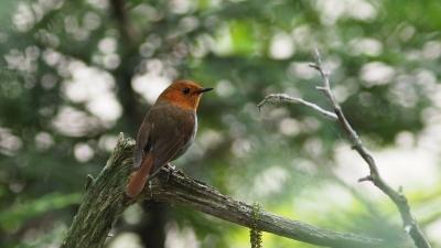 soku_36077.jpg :: 動物 鳥 野鳥 自然の鳥 コマドリ
