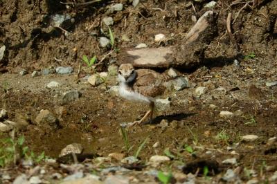 soku_36082.jpg :: 動物 鳥 野鳥 自然の鳥 コチドリ