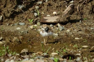 soku_36083.jpg :: 動物 鳥 野鳥 自然の鳥 コチドリ