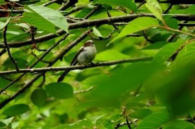 soku_36085.jpg :: 動物 鳥 野鳥 自然の鳥 エナガ