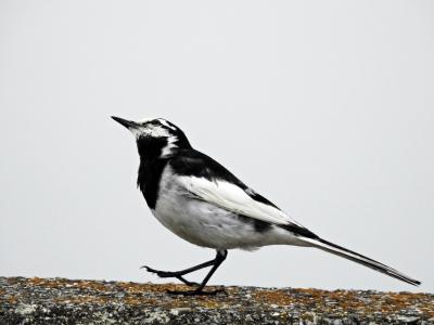 soku_36087.jpg :: 動物 鳥 野鳥 自然の鳥 ハクセキレイ