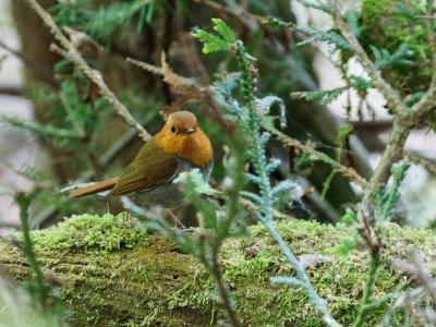 soku_36088.jpg :: 動物 鳥 野鳥 自然の鳥 コマドリ