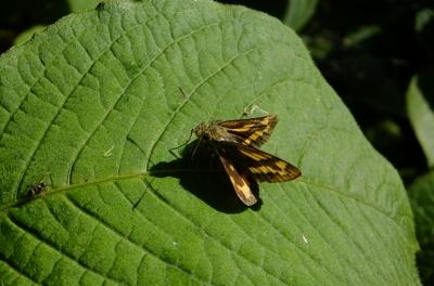 soku_36092.jpg :: 動物 昆虫 蝶 セセリチョウ科 キマダラセセリ
