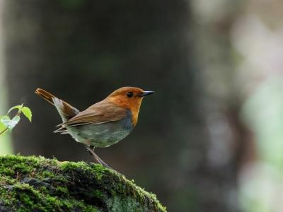 soku_36100.jpg :: 動物 鳥 野鳥 自然の鳥 コマドリ