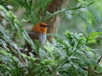 soku_36101.jpg :: 動物 鳥 野鳥 自然の鳥 コマドリ