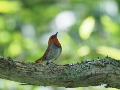 soku_36127.jpg :: 動物 鳥 野鳥 自然の鳥 コマドリ