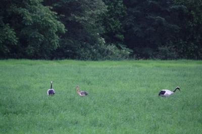 soku_36131.jpg :: 動物 鳥 野鳥 自然の鳥 タンチョウ