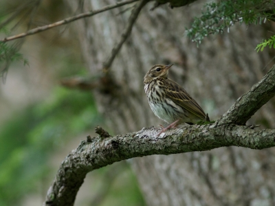 soku_36132.jpg :: 動物 鳥 野鳥 自然の鳥 ビンズイ