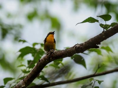 soku_36133.jpg :: 動物 鳥 野鳥 自然の鳥 キビタキ