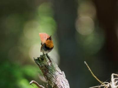 soku_36134.jpg :: 動物 鳥 野鳥 自然の鳥 コマドリ