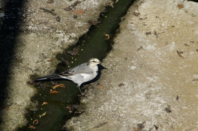 soku_36145.jpg :: 動物 野鳥 セキレイ科 ハクセキレイ 若鳥