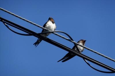 soku_36146.jpg :: 動物 野鳥 ツバメ科 ツバメ