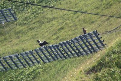soku_36151.jpg :: オオワシ 動物 鳥 猛禽類 鷲 ワシ