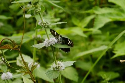 soku_36174.jpg :: 動物 昆虫 蝶 セセリチョウ科 ダイミョウセセリ