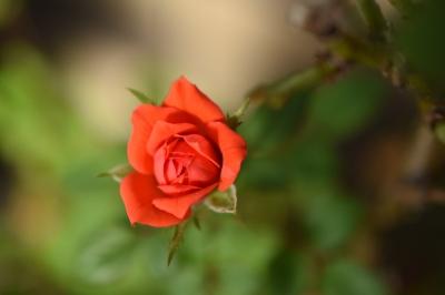 soku_36176.jpg :: バラの花 植物 花 赤い花