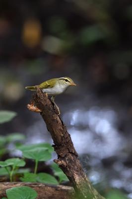 soku_36178.jpg :: 動物 鳥 野鳥 自然の鳥 センダイムシクイ