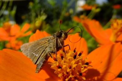 soku_36184.jpg :: 動物 昆虫 蝶 セセリチョウ科 イチモンジセセリ